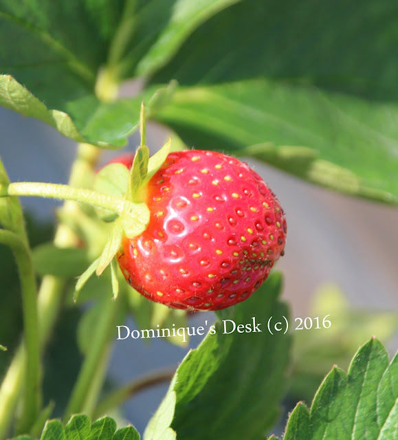 Strawberry that has yet to be plucked