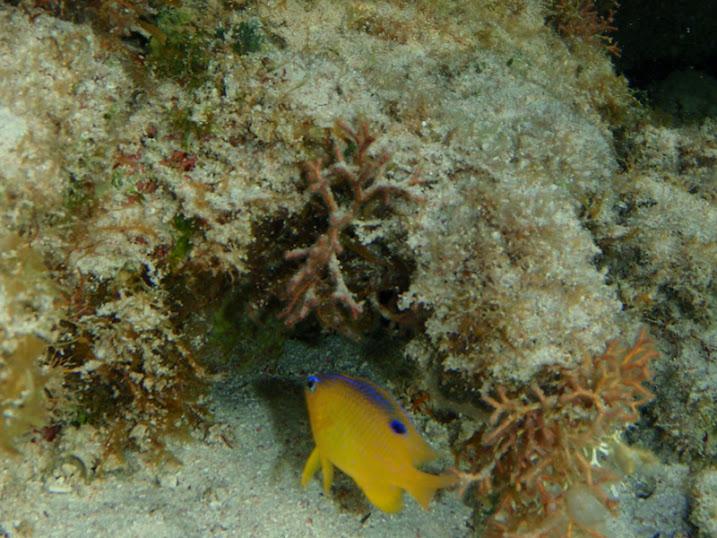 Stegastes diencaeus (Juvenile Longfin damselfish), Belize