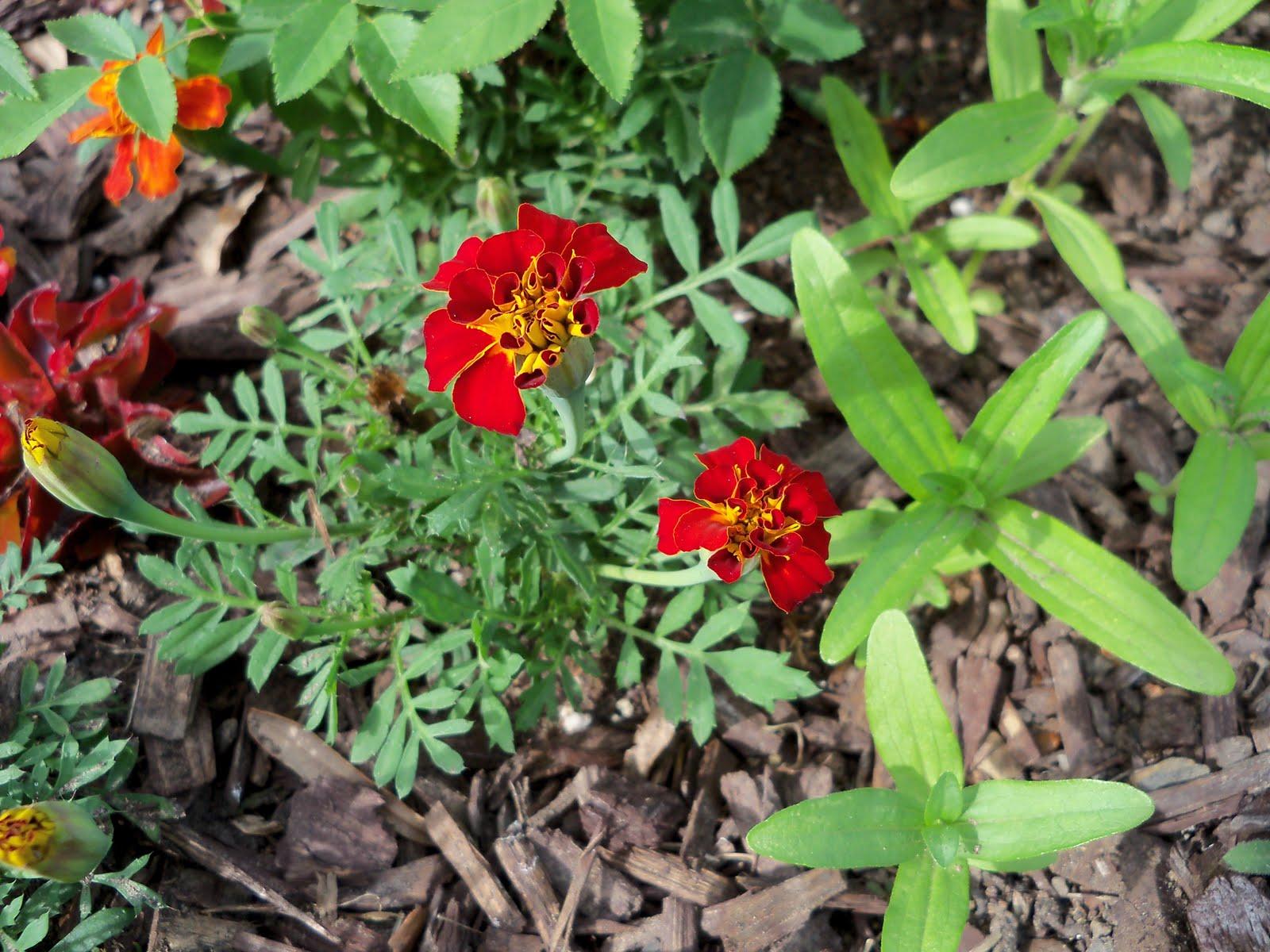 Gardening 2010 - 101_1411.JPG