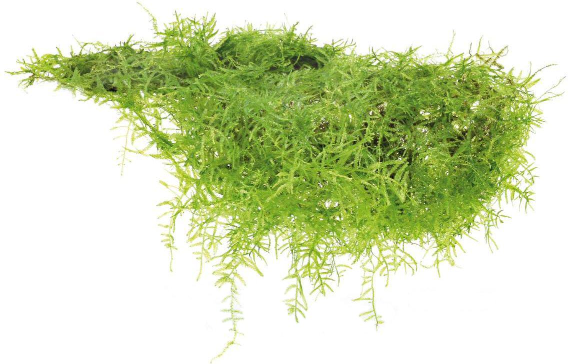Мох яванский (Java Moss) (Taxiphyllum barbieri)