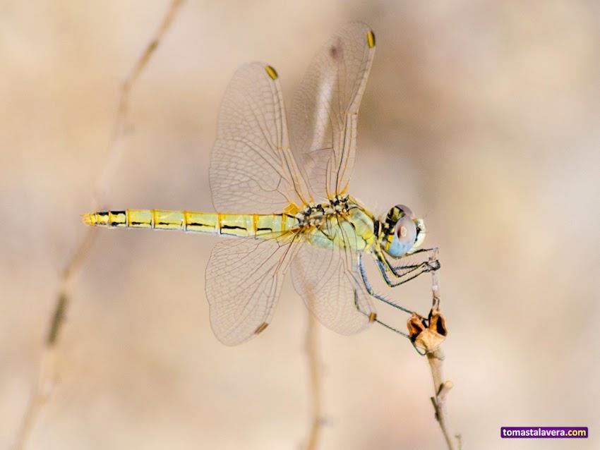 Nikon D5100, 55-200 mm, Fauna, Libélula, Macro, Naturaleza,