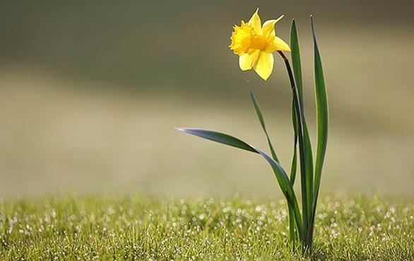 daffodils-01