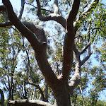 gum trees (18450)