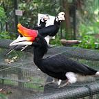 Hornbill (Kuala Lumpur bird park)