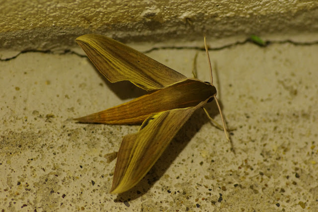 Sphingidae : Macroglossinae : Xylophanes t. tersa (Linné, 1771), mâle. Fundo Palmarito, 265 m (Yopal, Casanare, Colombie), 7 novembre 2015. Photo : J.-M. Gayman
