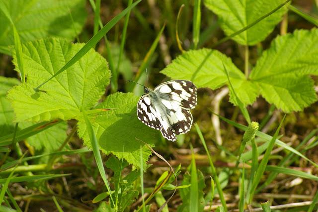 Melanargia galathea LINNAEUS, 1758. Chevigny au Nord de Semur-en-Auxois. 15 juin 2007. Photo : J.-M. Gayman