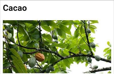 Cacao botanical name