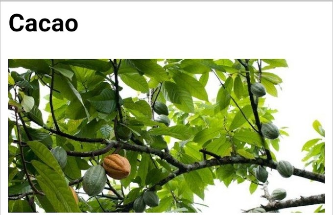 Botanical name of Cocoa and its medicinal properties