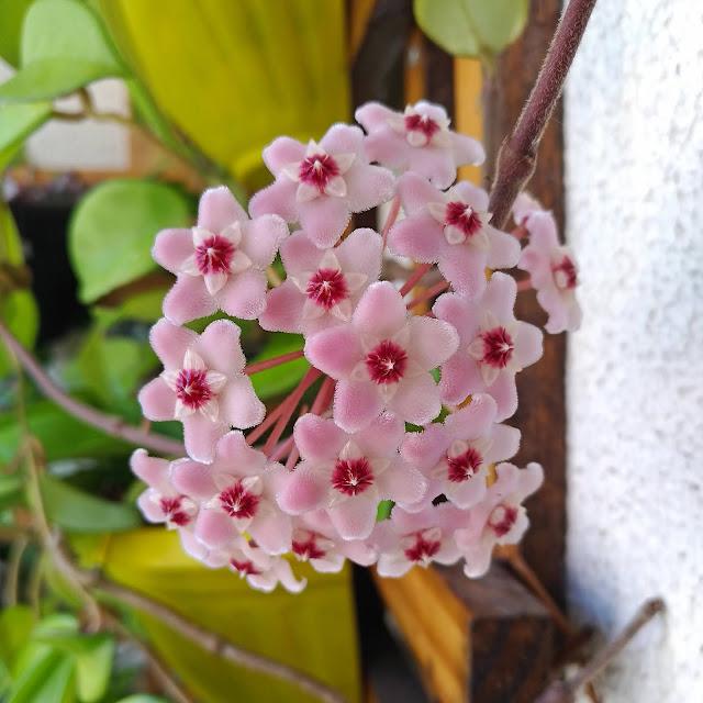 Flor de Cera - Hoya carnosa