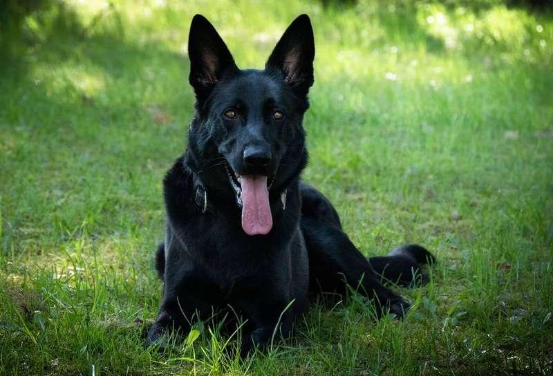 Solid Black German Shepherd Dog