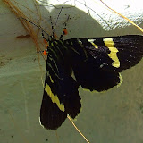 Noctuidae : Agaristinae : Phalaenoides glycinae LEWIN, 1805. Mount Kuring-gai, New South Wales (Australie), 30 mars 2007. Photo : Barbara Kedzierski Cf. : http://lepidoptera.butterflyhouse.com.au/agar/glycin.html