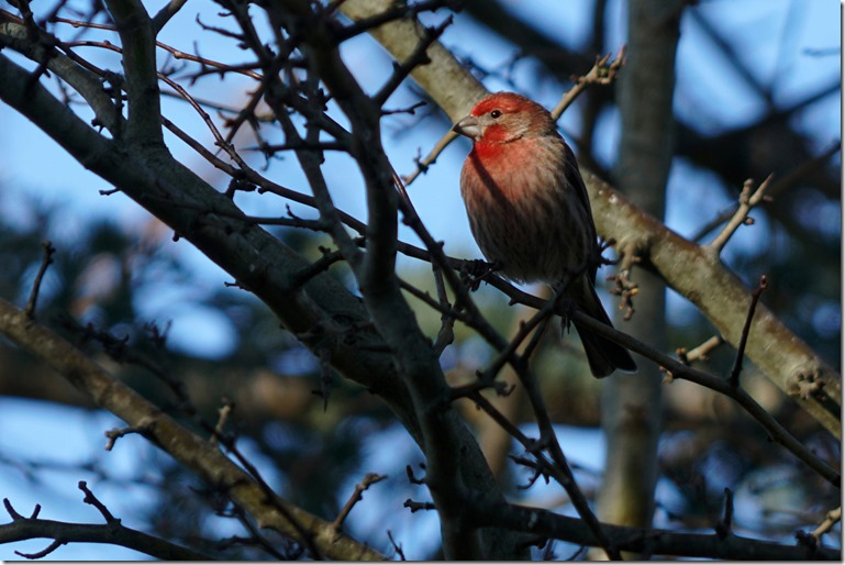 lopez house finch 031118 00000