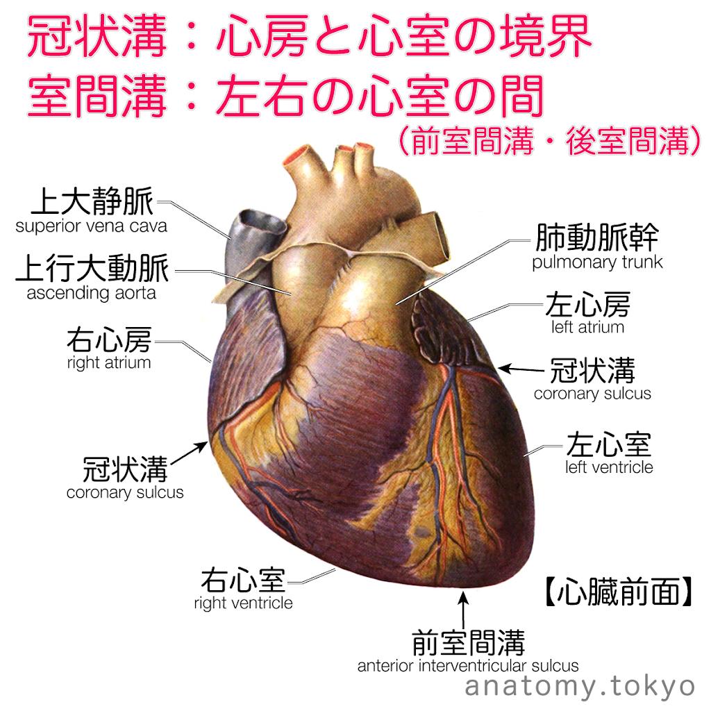 t222-02-冠状溝(心臓前面).png