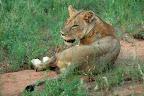 En flot stor hun-løve.