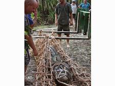 crocodile-harvesting-2009-6.jpg
