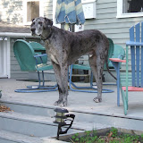 The Dynamite Danes Family! - Dogs%2B004.jpg