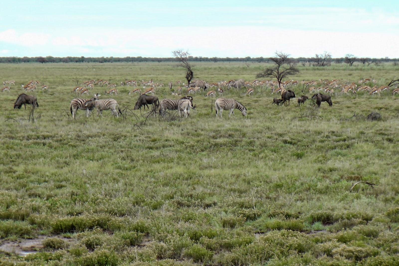 Springbok, Zebra en Gnu's.jpg