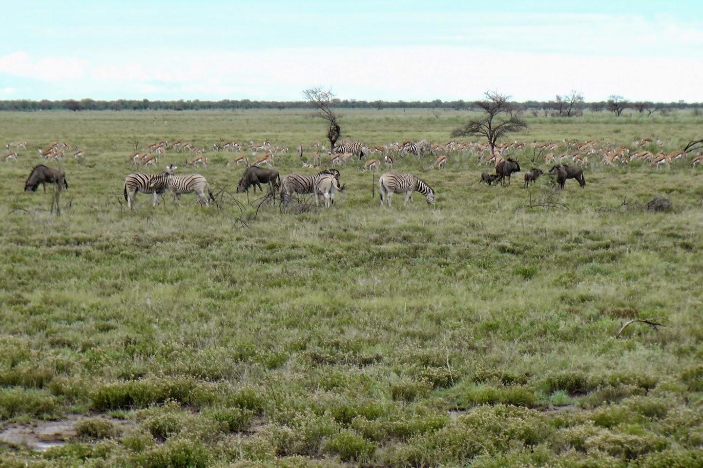Wildebeest, Zebra's en Springbokken