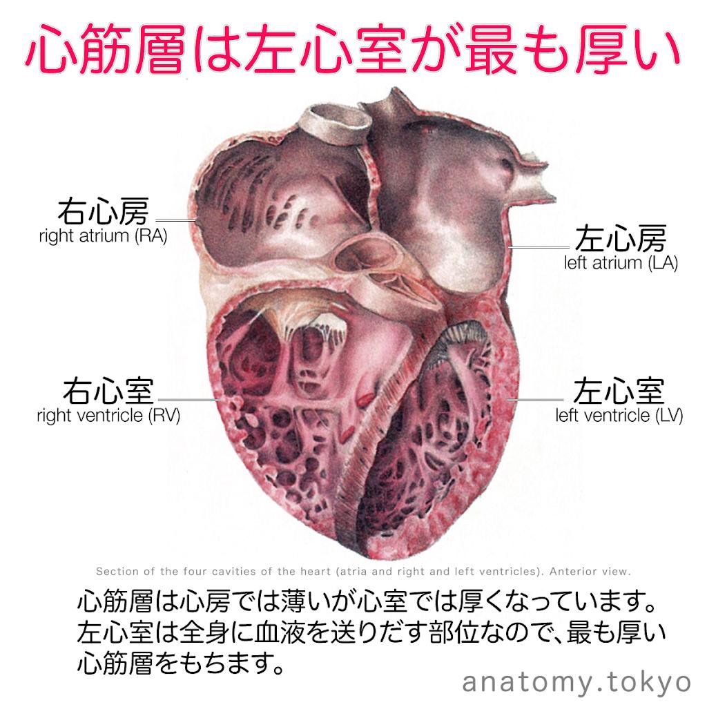 t221-13-心筋層は左心室が最も厚い.png