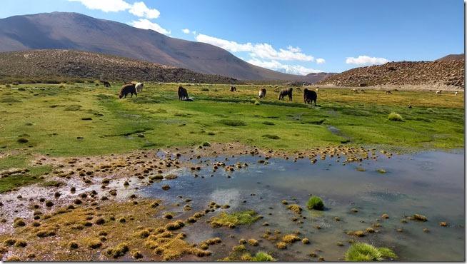 Lhamas-e-Vicunhas-Rio-Putana-Atacama--