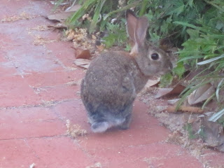 Rabbit outside my kitchen window staring at me