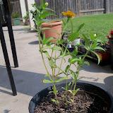 Gardening 2010, Part Two - 101_3428.JPG