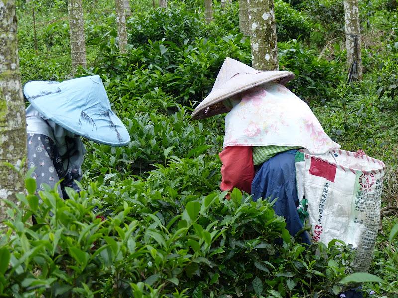 Puli, Nantou county, cueillette de thé - P1050535.JPG