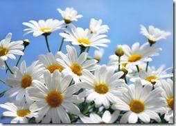 margaritas flores (16)