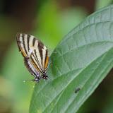 Arawacus aetolus (SULZER, 1776). Saut Athanase, 4 novembre 2012. Photo : J.-M. Gayman