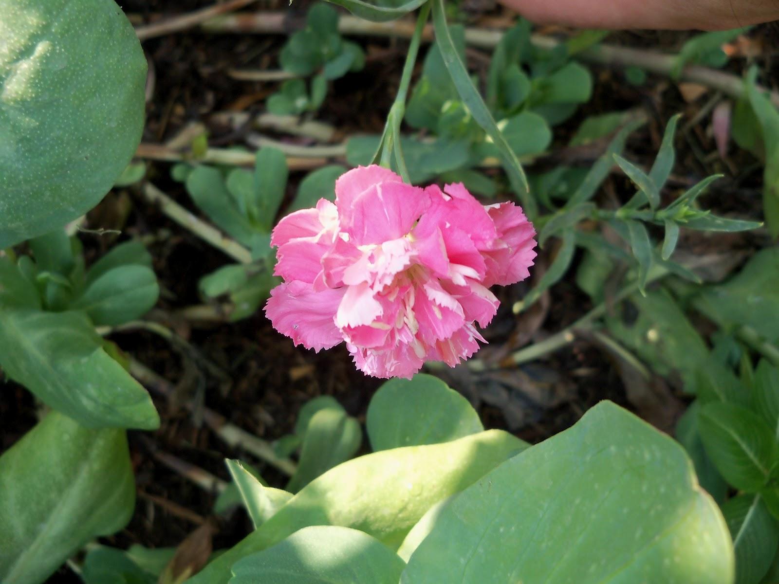 Gardening 2011 - 100_9301.JPG