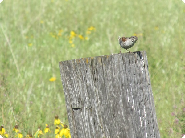 IMG_8107 Swamp Sparrow Bird