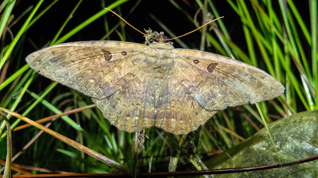 Noctuidae : Ophiderinae : probablement Letis magna (Gmelin, [1790]). Chovacollo, près de Coroico, 1950 m (Yungas, Bolivie), 29 décembre 2014. Photo : Jan-Flindt Christensen