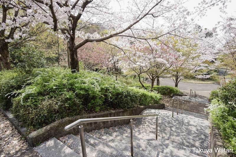 階段と桜を斜めから撮影