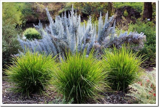 161127_UCDA_Maireana-sedifolia- -Lomandra-hystrix_002