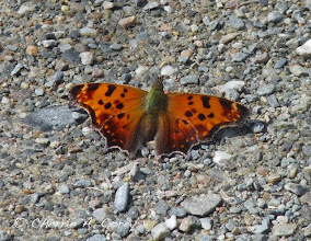 Photo: Eastern comma butterfly (Polygonia comma), 9.29.10