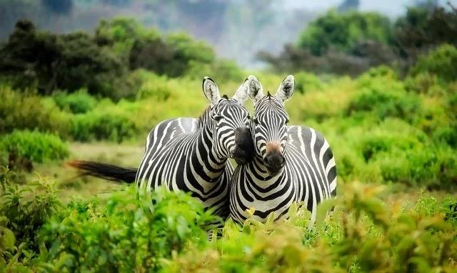 Zebras in an African safari