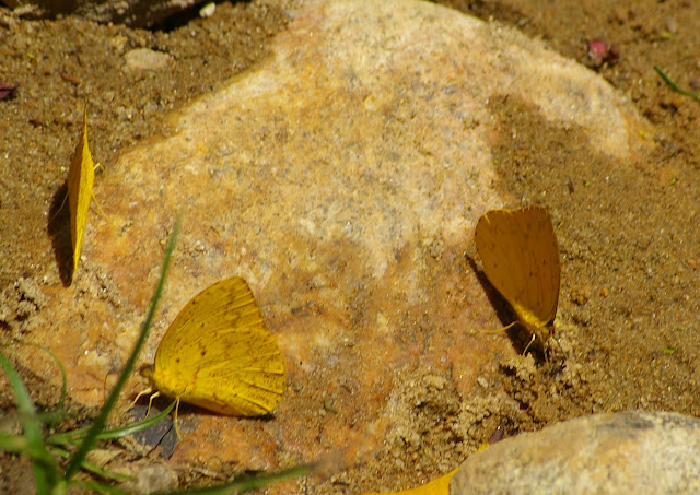 Phoebis sennae marcellina CRAMER, 1779, mud-puddlant. Arariba (Ubatuba, SP), 22 février 2011. Photo : J.-M. Gayman
