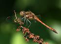 bruinrode heidelibel.jpg