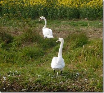 1 swans