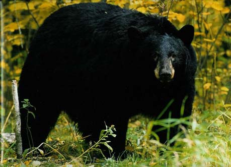 a to z the usa: West Virginia State Mammal