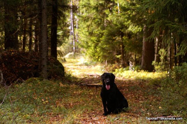 metsäkanalintujahti teeri pyy labradorinnoutaja metsästys