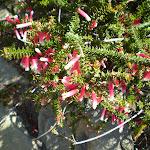 Prickly Epacris Longiflora (31165)