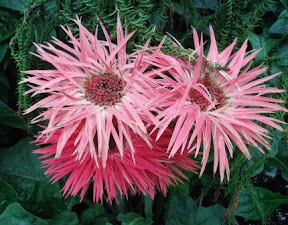 Pink Gallardia, Allan Gardens, Toronto, ON