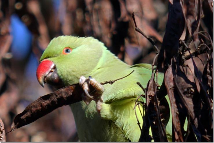 paris parrot in le jardin des plantes 112215 00000