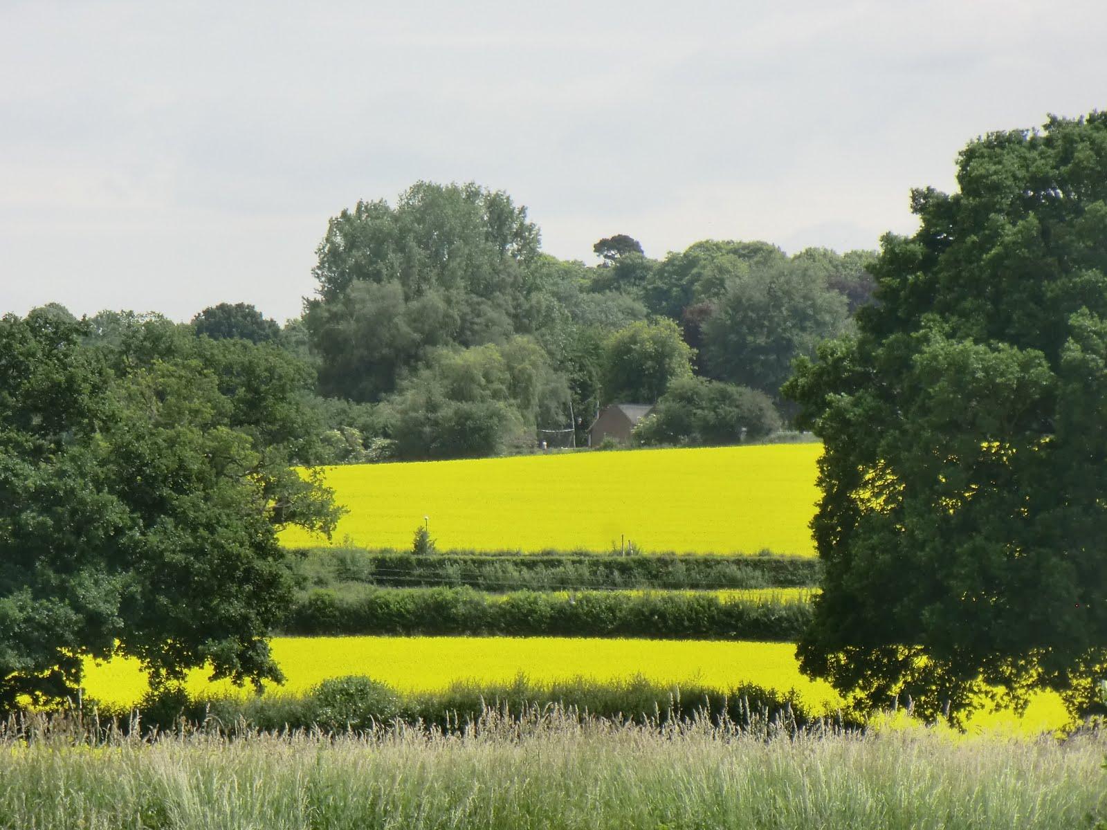 CIMG7321 Rape fields, Medway valley