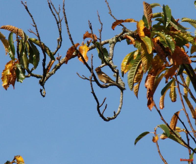 Le pinson dans le Chataignier. dans Animaux