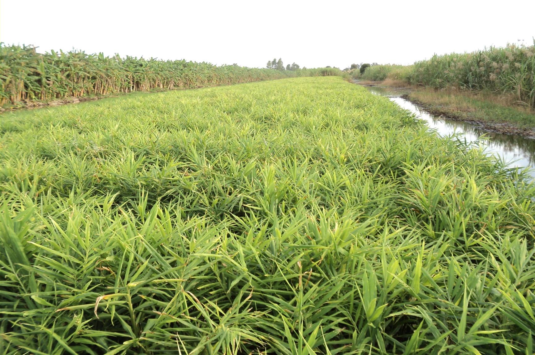 Kỹ thuật trồng gừng và phòng trừ sâu bệnh hại gừng - 560aa4bdc5e1e