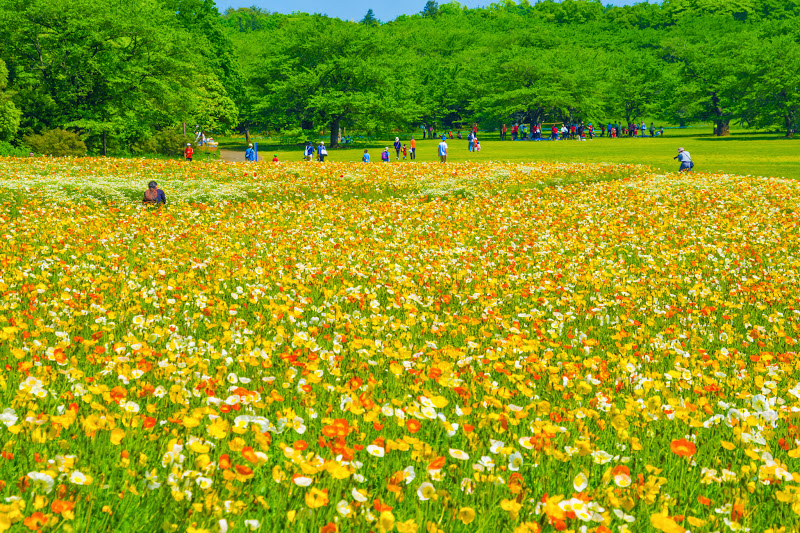 Showa Kinen Park Iceland poppy photo2