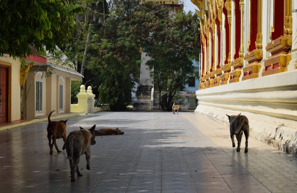 A Dog Gang at this Buddhist temple, they scurry away as I approach....