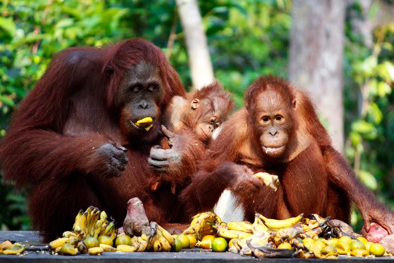 Familia de orangutanes comiendo